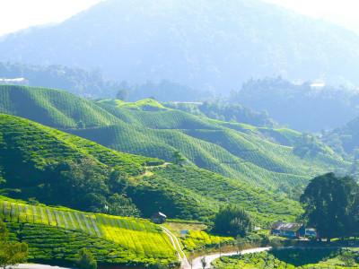 Teplantage Cameron Highlands Malaysia