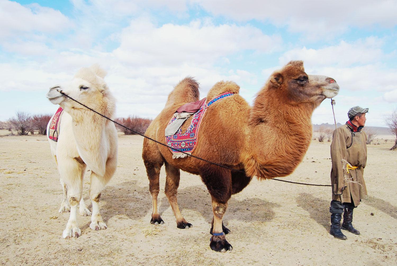 Kameler i Mongoliet