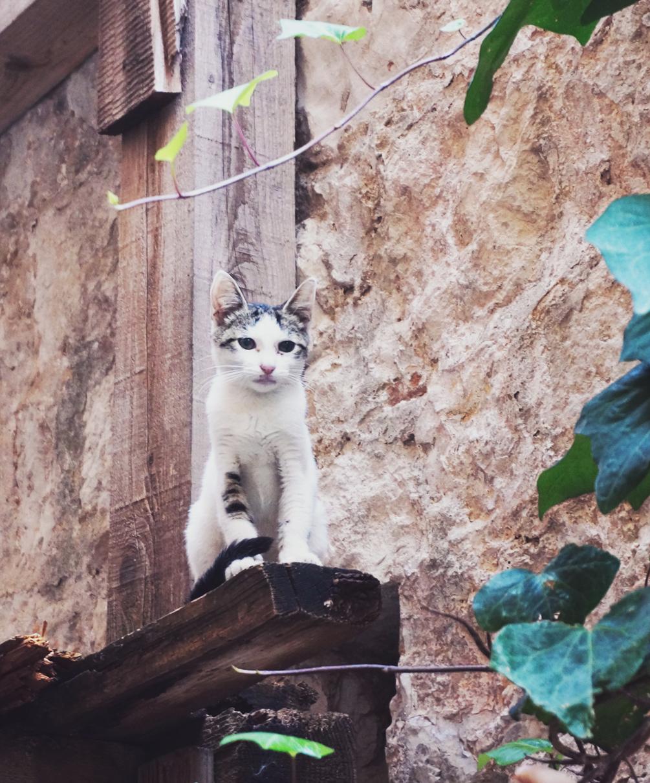Kroatisk katt