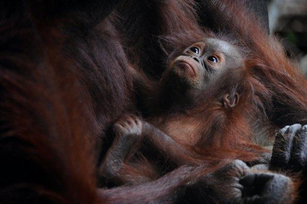 Djungeltrekking och orangutanger i Bukit Lawang