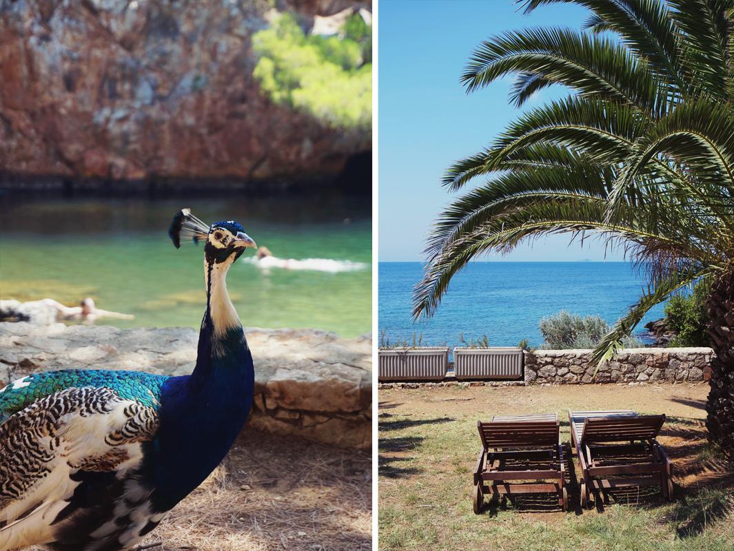 Påfågel i Dubrovnik