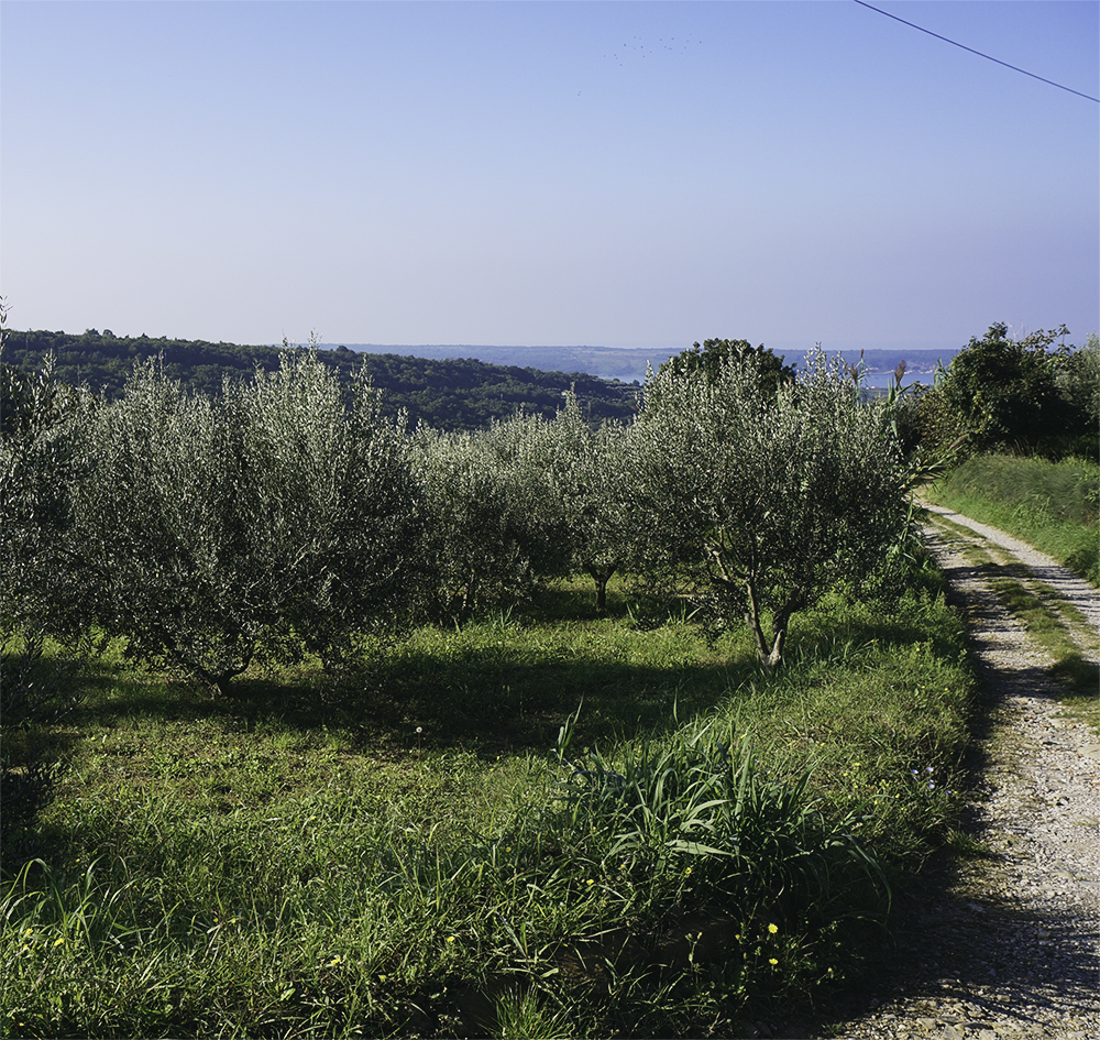 slovenien-olivolja-3