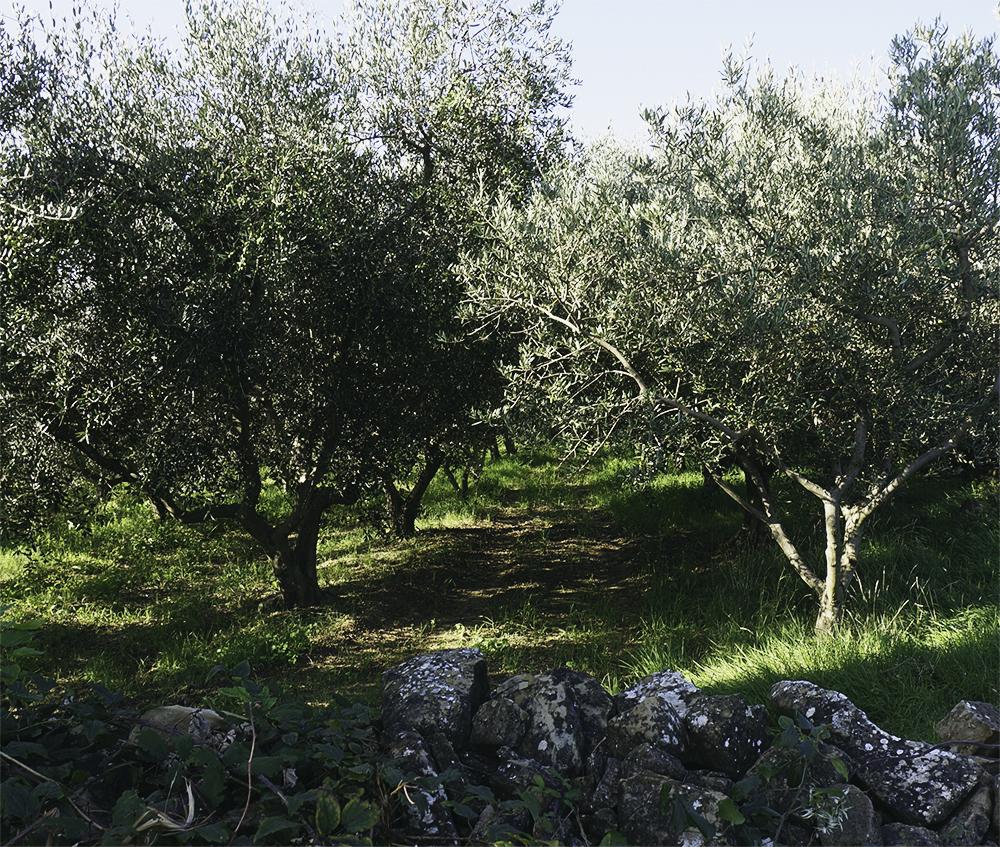 slovenien-olivolja-4