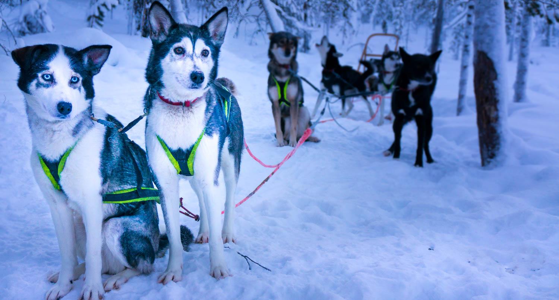 Slädtur med husky hundar