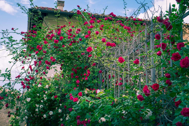 Rosor i Giardino delle rose i Florens
