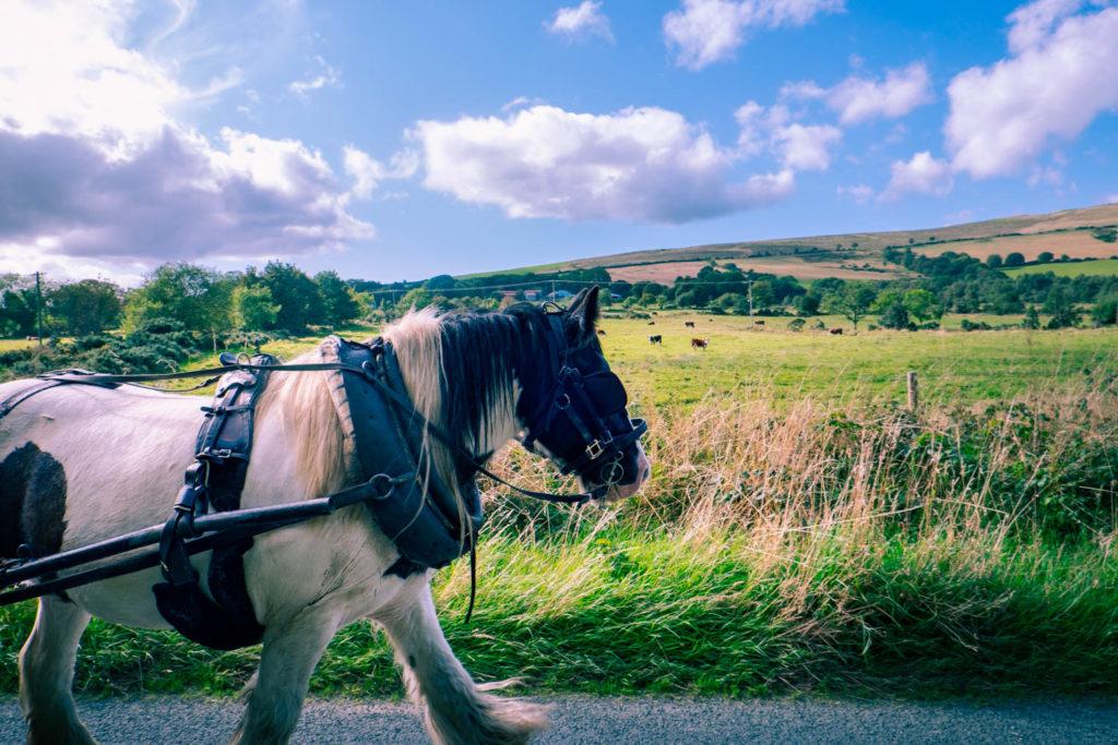 Tinkerhästen Bravo – med häst och vagn på Irland.